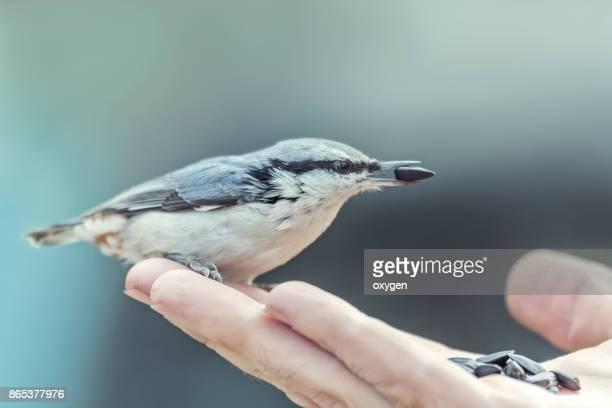 Nuthatch Bird eats seeds of sunflower on a human hand on blue sky