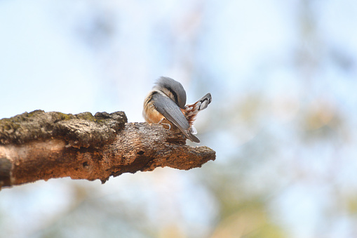 A Nuthatch Hiding its Face - gettyimageskorea