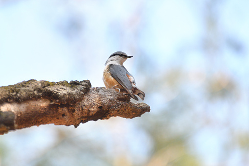 A Nuthatch on a Branch - gettyimageskorea