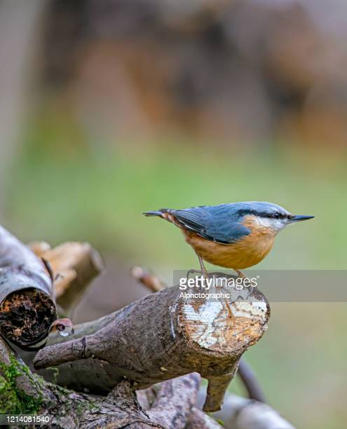 nuthatch on a log - bird stock pictures, royalty-free photos & images