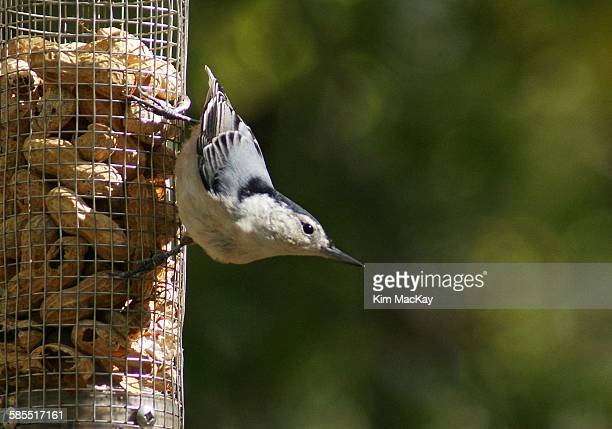 Nuthatch on feeder with bokeh