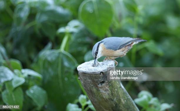 a nuthatch (sitta europaea) perched on an old tree stump looking for food. - hertford hertfordshire stock pictures, royalty-free photos & images