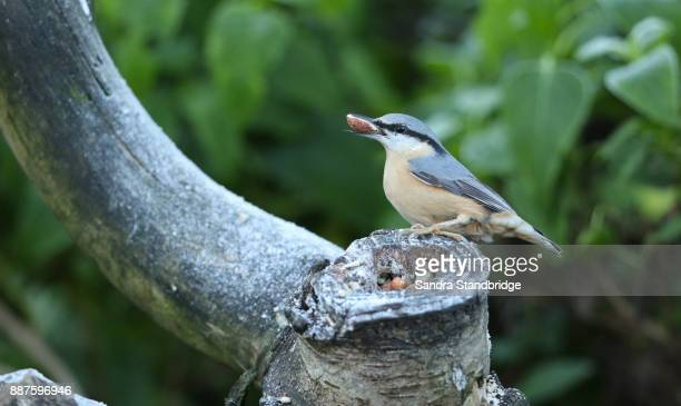 a nuthatch (sitta europaea) perched on an old tree stump with a nut in its beak. - hertford hertfordshire stock pictures, royalty-free photos & images