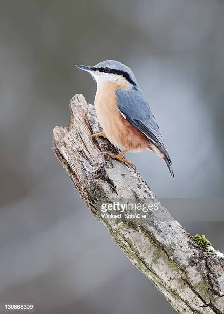 nuthatch (sitta europaea) - vista lateral stock pictures, royalty-free photos & images