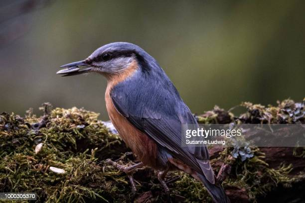 nuthatch with catch