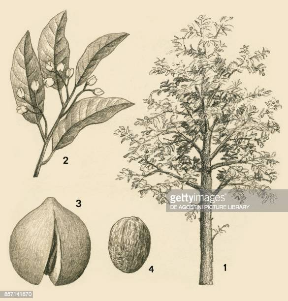 1 tree 2 leaves and flowers 3 fruit 4 seed drawing