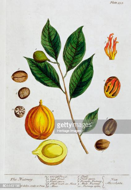 Nutmeg 1782 Plate 353 from A Curious Herbal by Elizabeth Blackwell published in 1782 Artist Elizabeth Blackwell