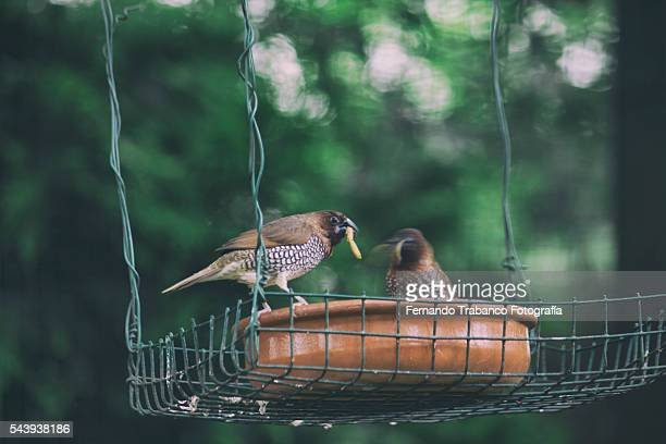 nutmeg mannikin eat worms - mealworm stock photos and pictures