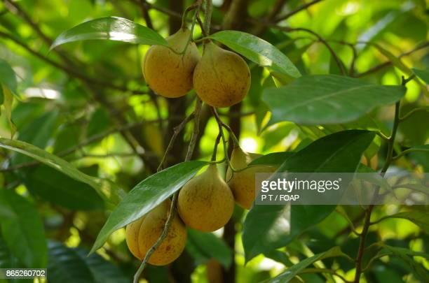 Nutmeg on trees