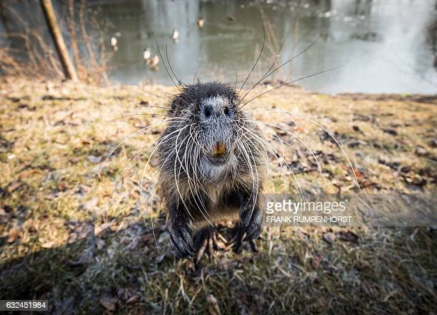 A nutria begs for something to eat at the banks of the Nidda creek in Frankfurt am Main western Germany on January 22 2017 / AFP / dpa / Frank...