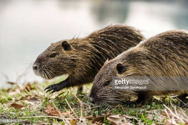 nutria on banks of canal, search for food. wild nutria inhabit ponds and rivers (reservoirs with low-flow or stagnant water) of europe, small animal swims. - nutria foto e immagini stock