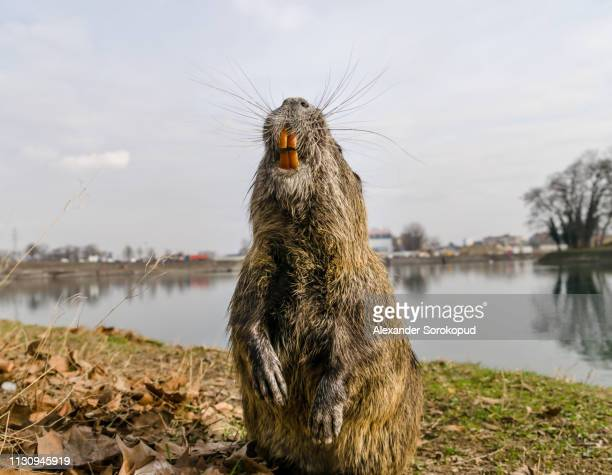 nutria on banks of canal, search for food. wild nutria inhabit ponds and rivers (reservoirs with low-flow or stagnant water) of europe, small animal swims. - beaver stock pictures, royalty-free photos & images