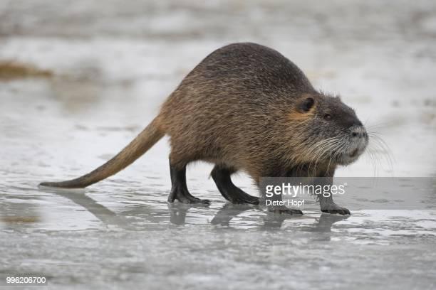 nutria or coypu (myocastor coypus) crossing a frozen pond, bavaria, germany - nutria foto e immagini stock