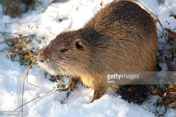 Nutria (Rodent)