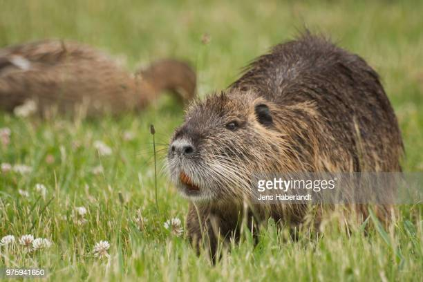 nutria - muskrat stock photos and pictures