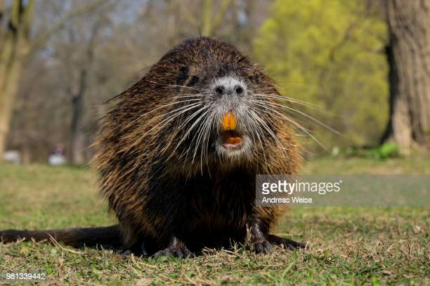 nutria - funny beaver stock pictures, royalty-free photos & images