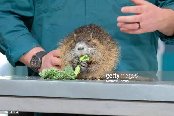 Nutria rodent attends Build Series presents David Mizejewski discussing Pet Talk at Build Studio on March 21 2017 in New York City