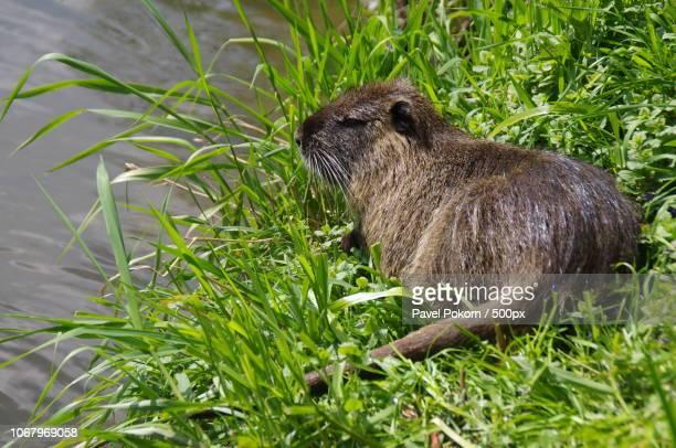 nutria sleeping in grass on river bank - nutria foto e immagini stock
