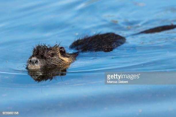 nutria (myocastor coypus) swimming in the water, moerfelden-waldorf, hesse, germany - nutria foto e immagini stock