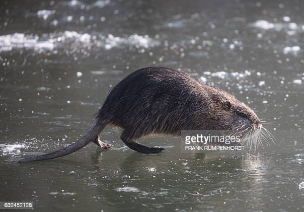 A nutria walks over a thin ice layer covering the Nidda creek in Frankfurt am Main western Germany on January 22 2017 / AFP / dpa / Frank Rumpenhorst...