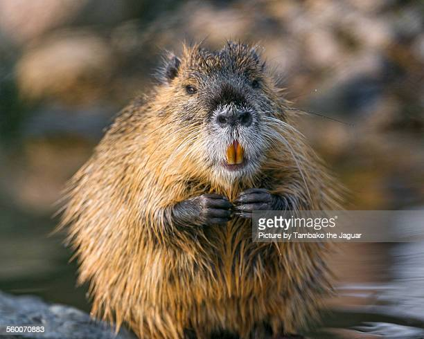 Nutria with hands joined