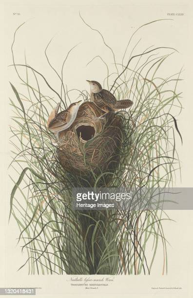 Nuttall's Lesser Marsh Wren, 1833. Artist Robert Havell.
