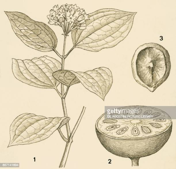 Nux vomica or strychnine tree 1 flowering branch 2 fruit 3 seed drawing