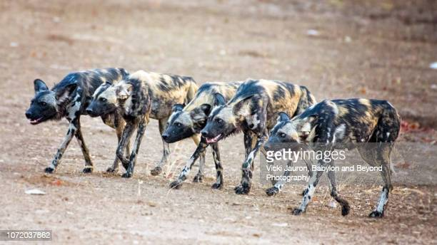 nyakasanga painted wolf hunting formation at mana pools, zimbabwe - wild dog stock pictures, royalty-free photos & images
