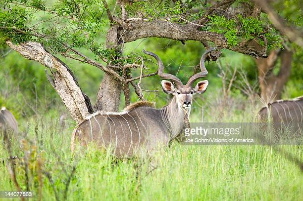 Nyala also called Bushbuck in Umfolozi Game Reserve South Africa established in 1897