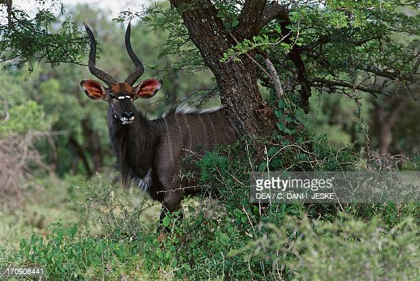 Nyala antelope Kruger National Park South Africa