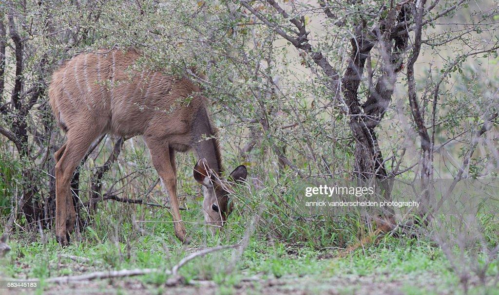 Nyala female : Stock Photo