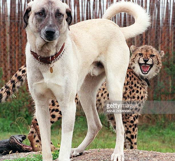 Nyana a ninemonthold cheetah cub shows her displeasure with Merlin an Anatolian Shepherd dog at Spier Estate in Stellenbosch 26 June In an effort to...