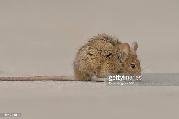 nyc brown rat - ratazana imagens e fotografias de stock