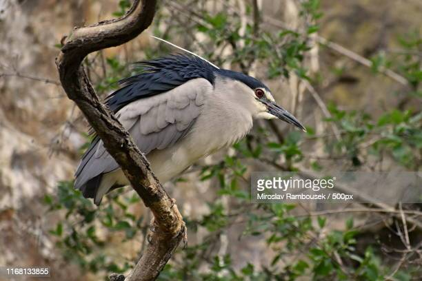 nycticorax nycticorax - bateleur eagle stock pictures, royalty-free photos & images