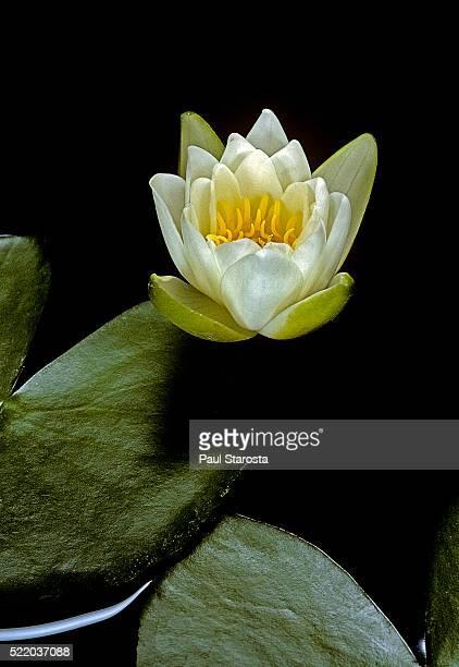 nymphaea candida (water lily) - schimmelinfectie stockfoto's en -beelden