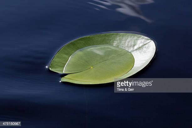 Nymphaea tetragona lily pad on lake