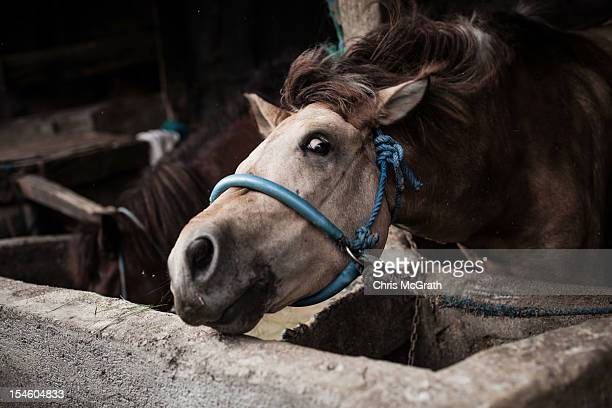 Nyoman Mantra Manik's horse shakes off dust in the stables after a days work on October 14 2012 in Denpasar Bali Indonesia The Dokar is traditional...