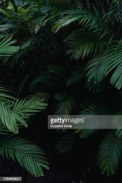 nypa fruticans, trees in the mangrove forest on dark background. - lush stock pictures, royalty-free photos & images