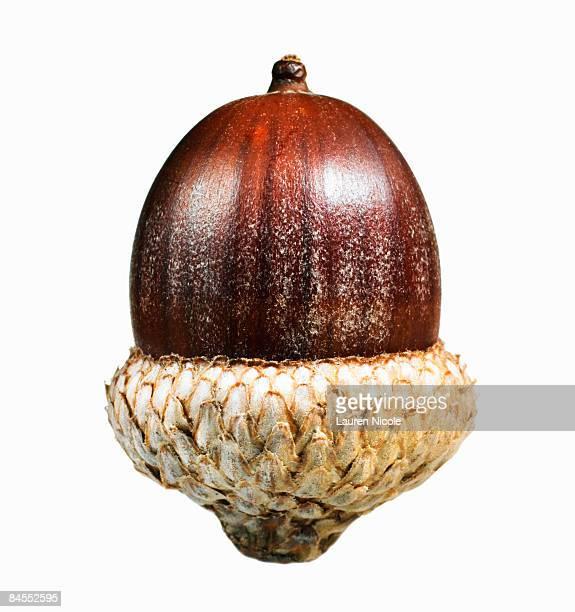 Oak Acorn Closeup