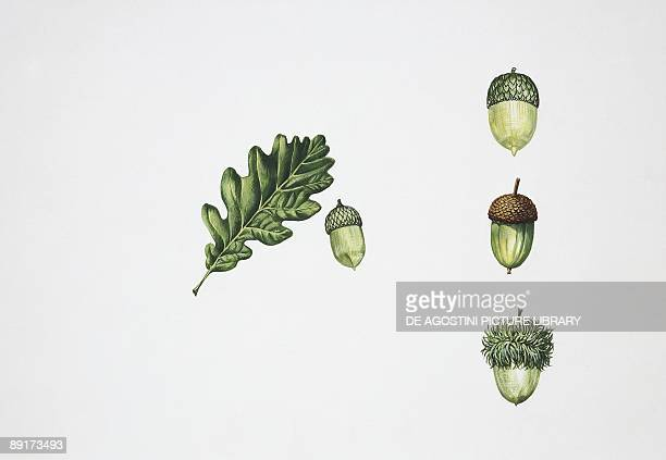 Oak acorns illustration
