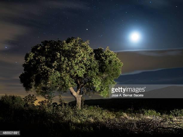 Oak at night the moonlight