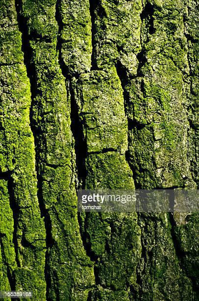 texture Corteccia di quercia