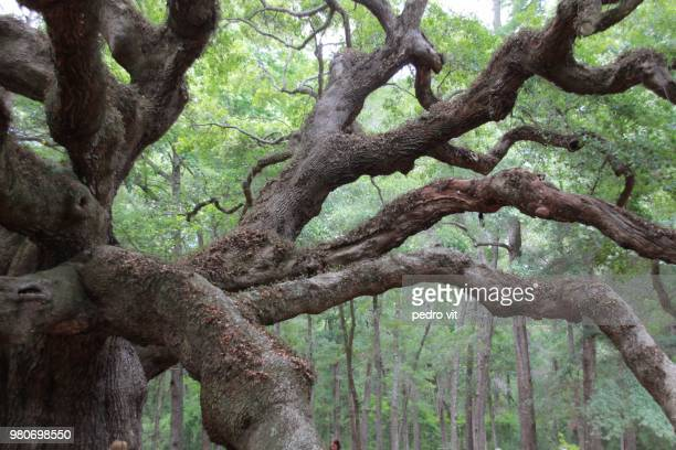 Oak branches, Angel Oak Park