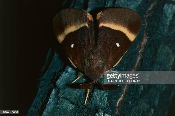Oak eggar Lasiocampidae