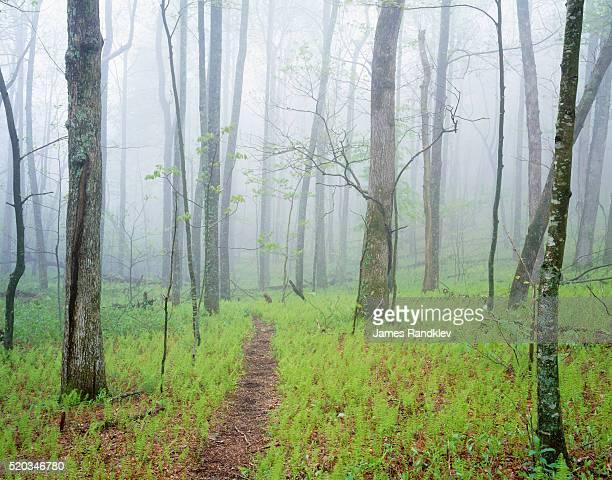 Oak Forest in Fog