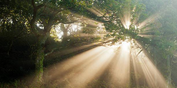 Oak forest in mist
