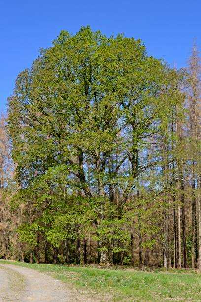 Oak (Quercus), imposing tree with leaf shoots, surrounded by dead spruces (Picea abies), Arnsberger Wald nature park Park, North Rhine-Westphalia, Germany