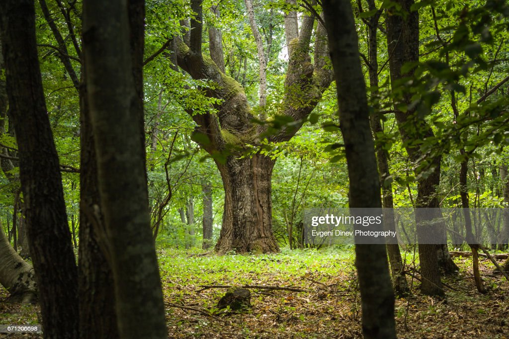 Oak in the middle of the forest : Stock Photo