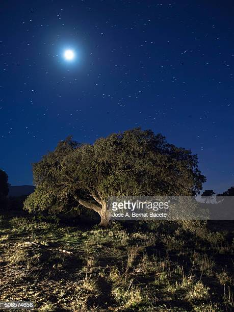 Oak in the top of a mountain illuminated by the full moonlight