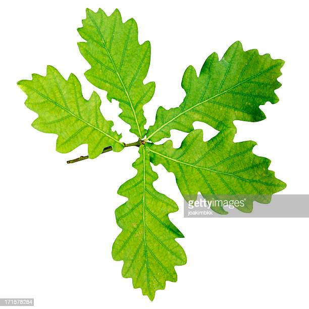 Oak leaf branch with clipping path isolated on white